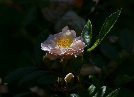 Flower, Rose, Pink, Nature, Black Natural