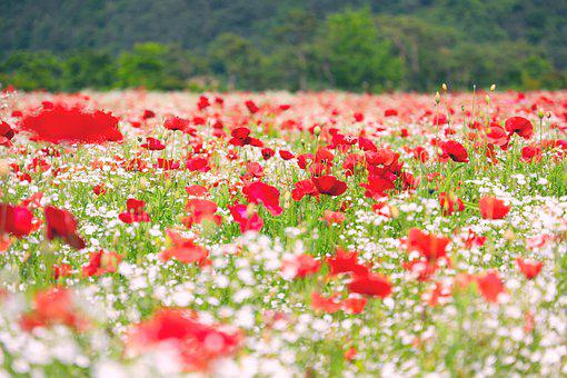 Flowers, Poppy, Plants, Nature, Red