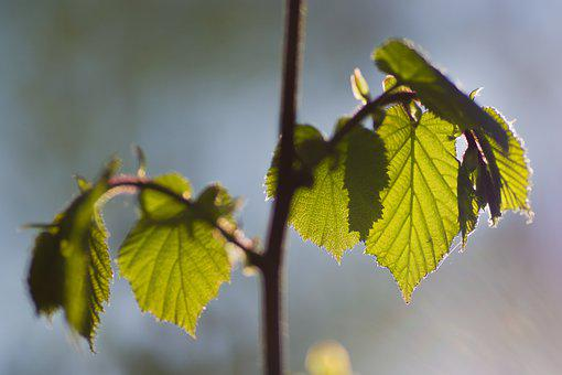 Beech, Backlighting, Leaves, Forest
