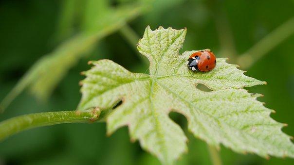 Ladybug, Grape Leaf, Green, Garden