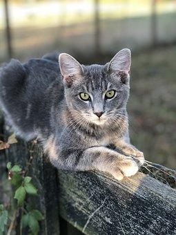 Grey Cat, Barn Cat, Cat On Fence, Rural, Farm, Gray