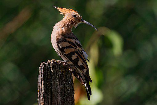 Africa, Migration, Fly, Hoopoe