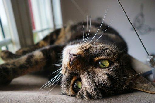 Cat, Kitten, Pet, Domestic Cat, Mackerel