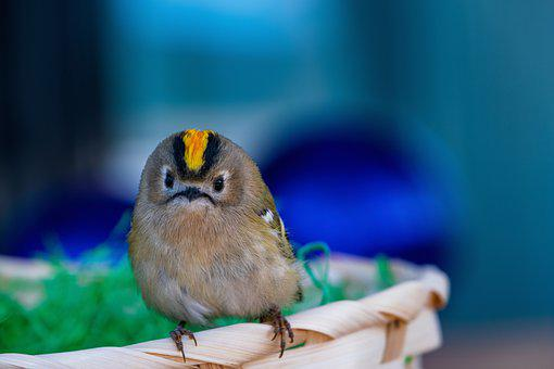 Goldcrest, Bird, Regulus Regulus, Animal, Small, Nature