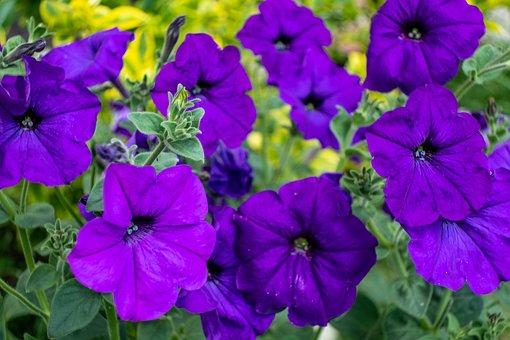 Petunia, Flowers, Petals, Nature