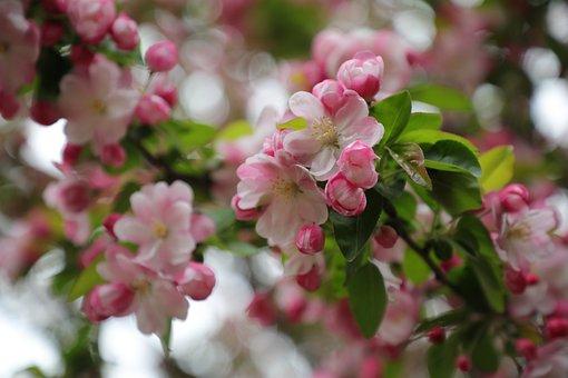 Chinese Flowering Crabapple, Pink
