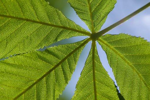 Chestnut, Leaf, Tree, Sky, Fuenfgliedrig, Nature