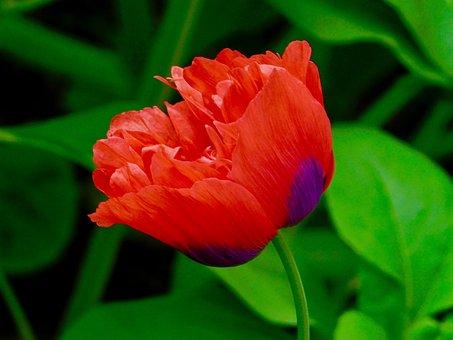 Red, Poppy, Flower, Nature, Summer, Bloom, Garden