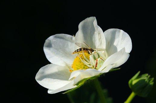 Flower, Strawberry, Summer, Nature