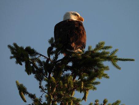 Eagle, Bird, Wild, Raptor, Nature