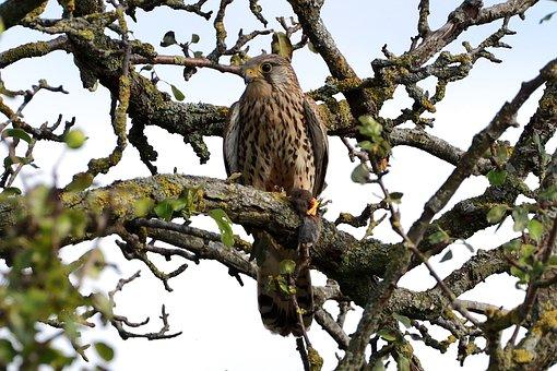 Kestrel, Falcon, Prey, Bird Of Prey