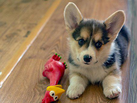 Welsh Corgi Pembroke, Puppy, Dog, Cute
