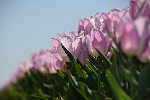 Tulips, Purple, Dirksland, Spring