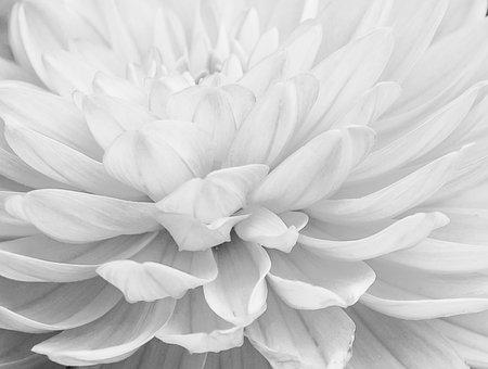 Dahlia, White, Flower, Scandinavian