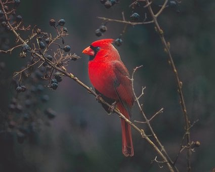 Cardinal, Ave, Exotic, Nature, Red