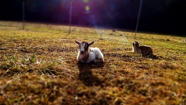 Goat, Baby, Animal, Pet, Cute