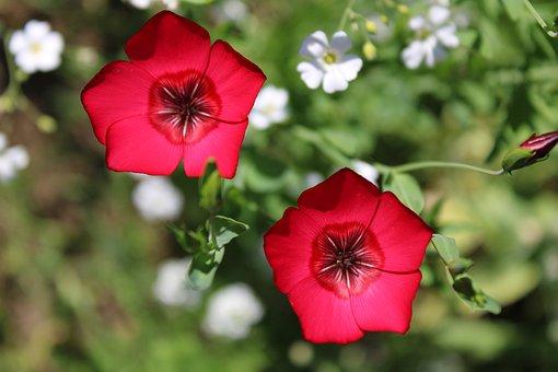 Red, Flower, Blossom, Bloom, Summer