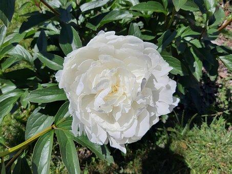 Peony White, Flower, Spring, Peony