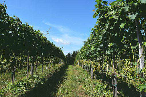 Vineyards, Green, Vine, Winery, Vines, Foo, Nature