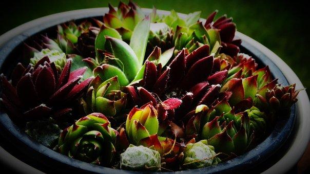Succulents, Beautiful, Garden, Plant
