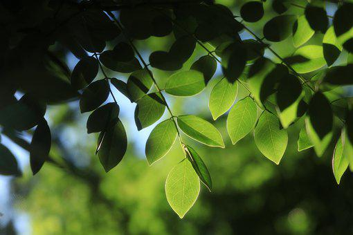 Leaves, Green, Sunlight, Nature, Plant