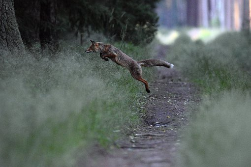 Fox, Jump, Hunting, Nature, Animal, Predator, Forest