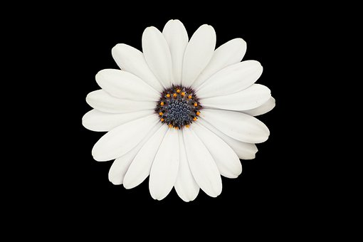 White, Improved, Daisy Flower, Plant, Petal