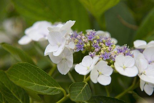 Hydrangea, Plate Hydrangea, Blossom