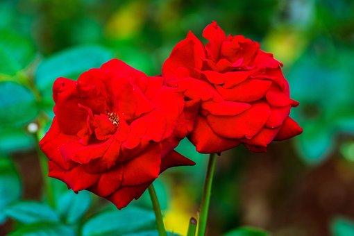 Rose, Red, Roses, Flower, Love, Wedding