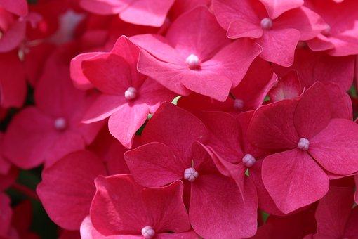 Pink, Flower, Blossom, Bloom, Summer