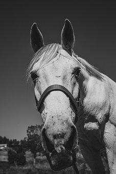 Horse, Black, White, Horses, Zebra