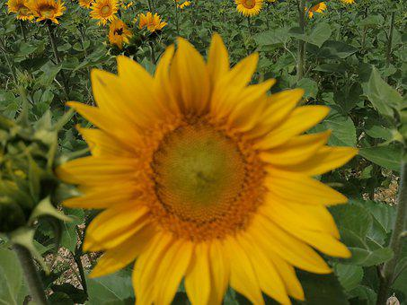Sunflower, Yellow, Yellow Army, Bees