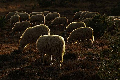 Sheep, Browser, Heide, Against Light, Avondstemming
