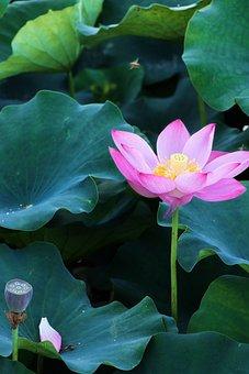 Lotus, Lotus Root, Flower, Summer, Bloom