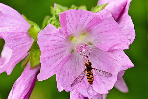 Blossom, Bloom, Mallow, Hoverfly, Nature, Garden, Pink