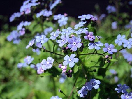 Caucasian Forget-me-nots, Brunner Of Macrophylla