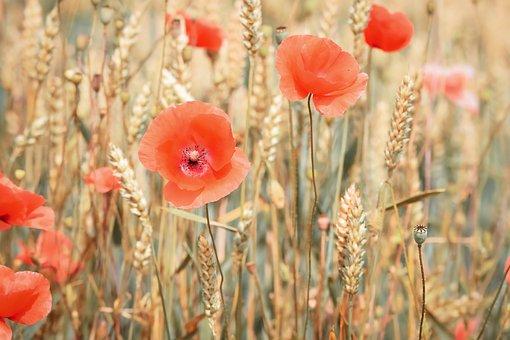Poppy, Cereals, Summer, Cornfield, Field, Poppies