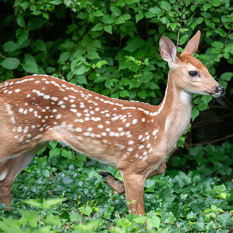 Deer, Fawn, Whitetail, White-tailed Deer, While-tailed