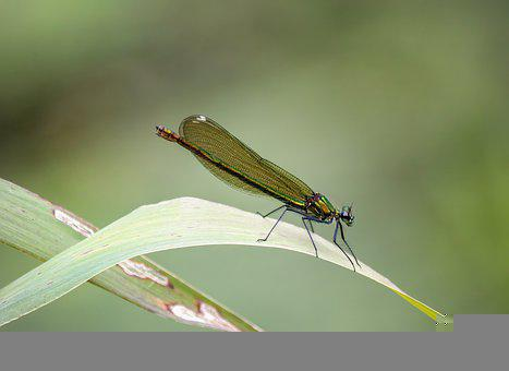 Damselfly, Wings, Pattern, Insect