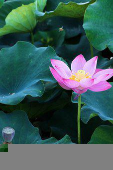 Lotus, Lotus Root, Flower, Summer, Bloom, Yellow