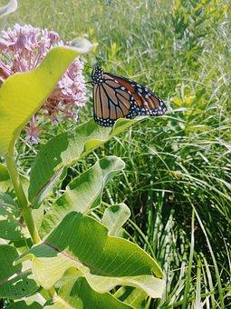 Monarch Butterfly, Prairie Field, Pink Flower
