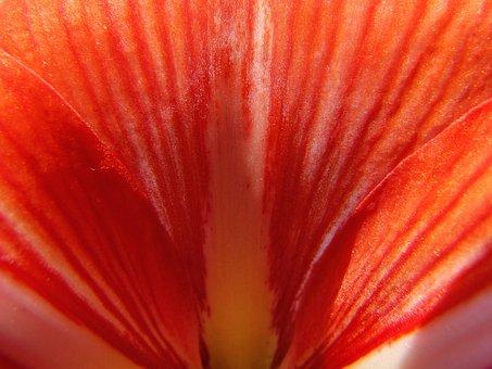 Amaryllis, Orchid, Orange, Flower