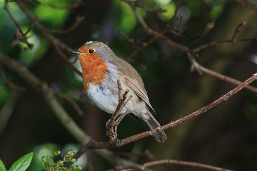 Robin, Bird, Urban Nature