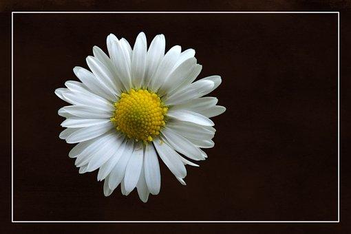 Blossom, Bloom, Magerite, White, Plant, Flora