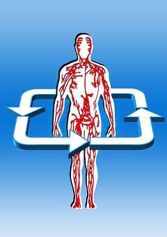Body, Blood Circulation, Aterien, Veins