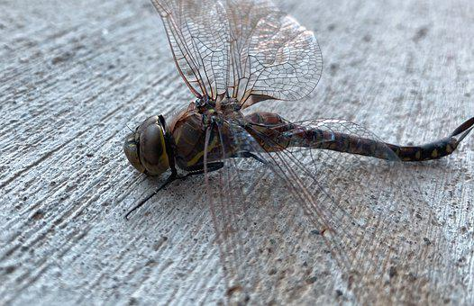 Dragonfly, Insect, Bug, Nature, Wing