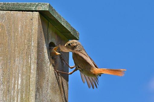 Common Redstart, Songbird, Feed