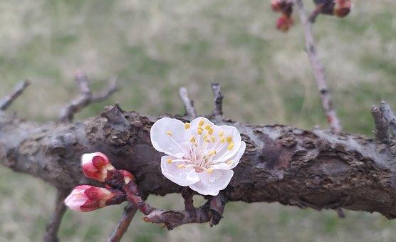 White, Garden, Spring, Flowers, خاروانا, Kharvana