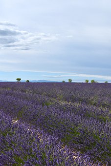 Nature, Flowers, Lavender, Valensole