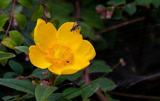 Marsh Marigold, Caltha Palustris, Kingcup, Bull Flower